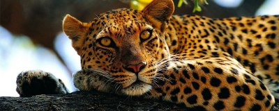 leopard-featured