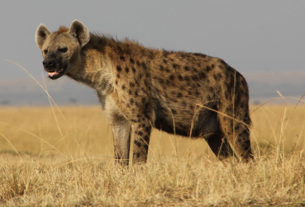 spotted-hyena-kenya