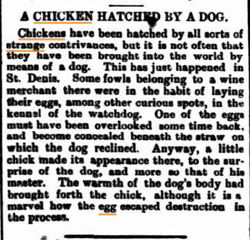Chicken hatched by Dog Fitzroy City Press (Vic) 1 July 1897kopie.jpg
