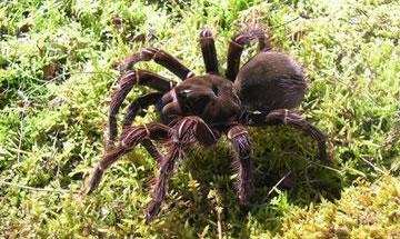 samoan-spider
